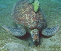 HouseReef Schildpad